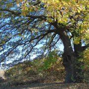 Да съхраним вековните дървета на България