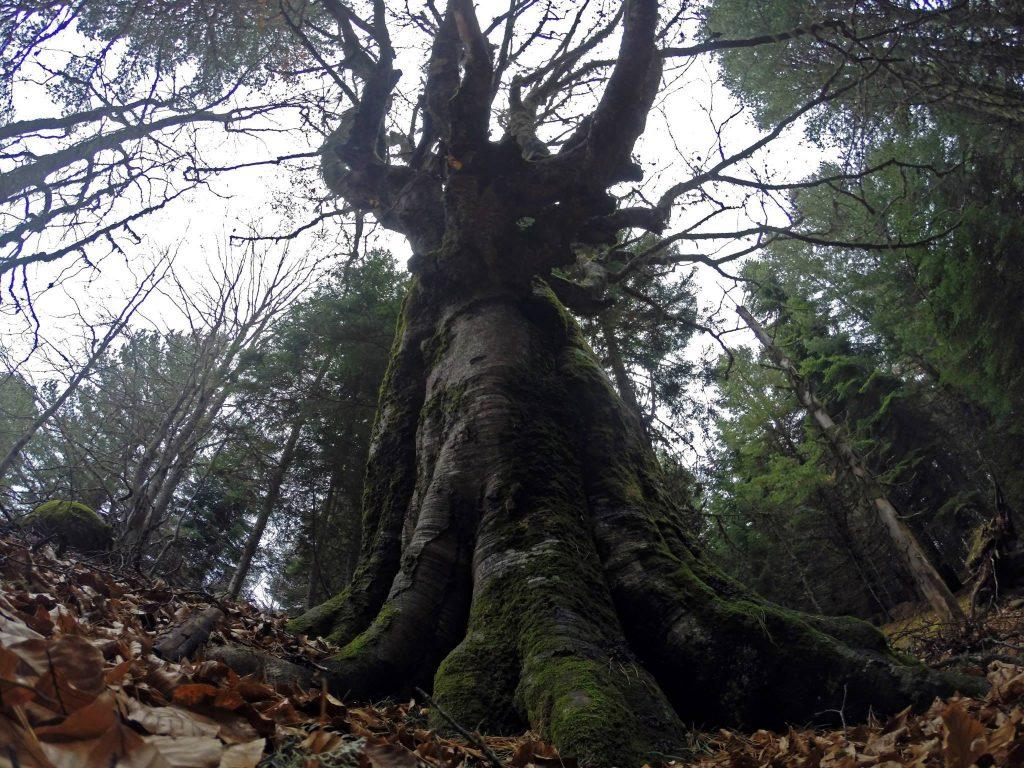 вековно дърво, бук