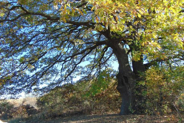 Save the ancient trees of Bulgaria