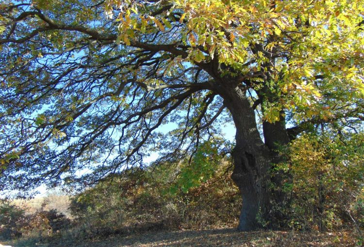 Read more about the article Save the ancient trees of Bulgaria